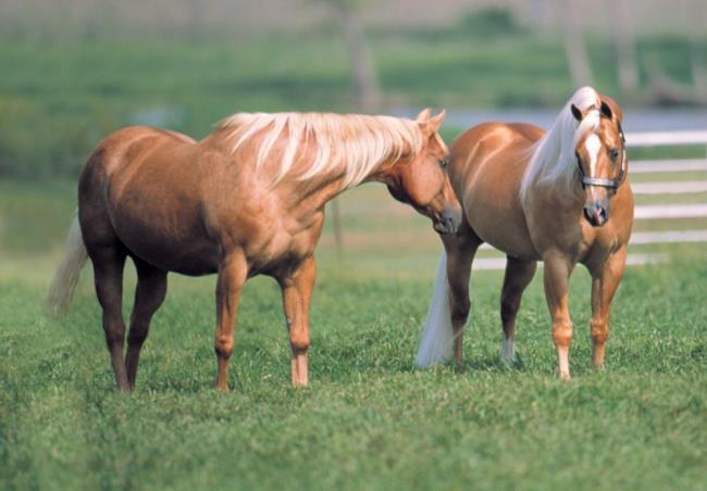 Gay horse mating